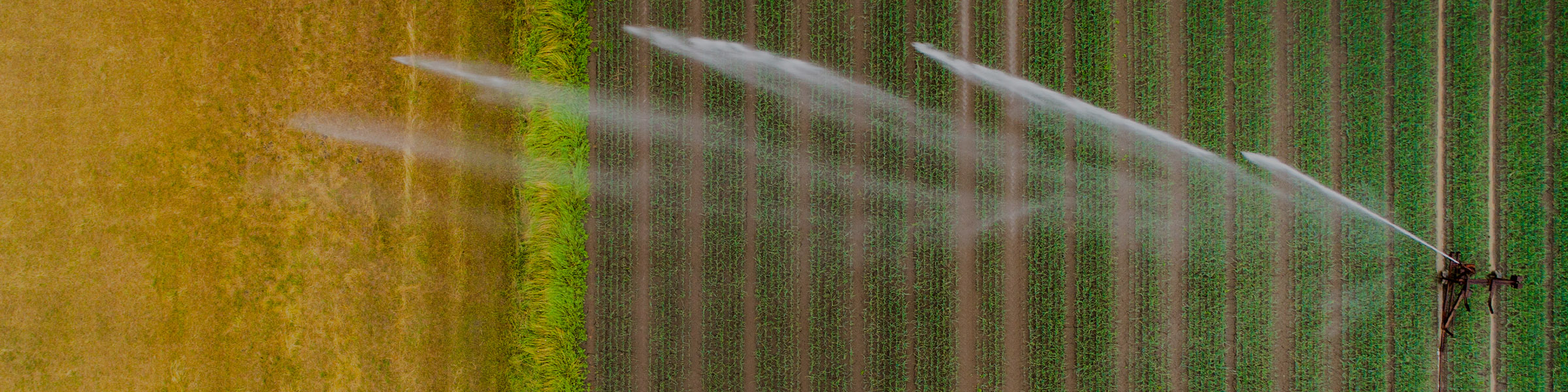 973809212_Macro_Agricultural_sprinkler_wheat_field